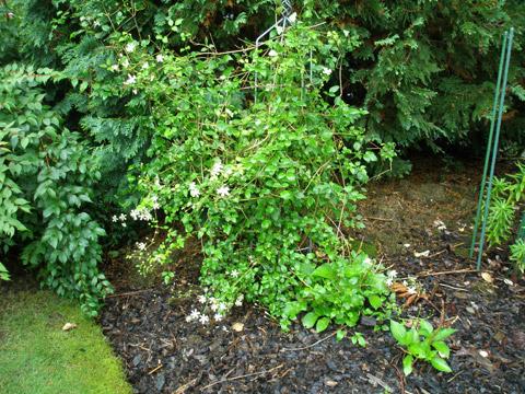 12_skogsklematisenblommar.jpg