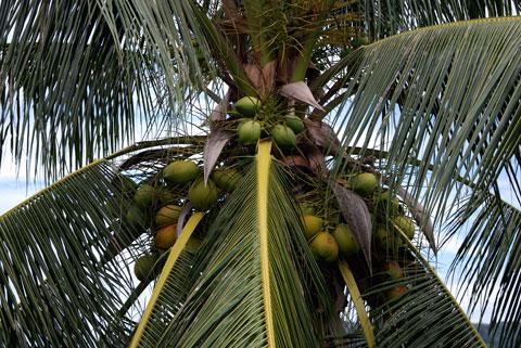 1_kokospalm.jpg