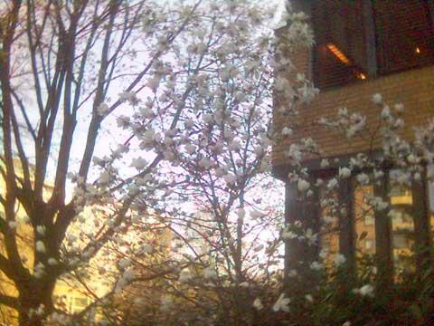 1_magnolia.jpg