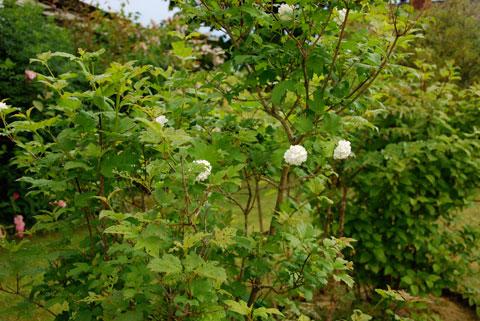 25_blommandebuske4.jpg