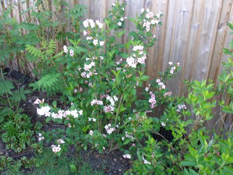 2_blommandebuske08.jpg