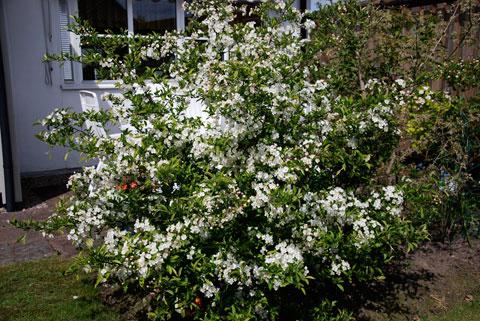 2_blommandebuske09.jpg