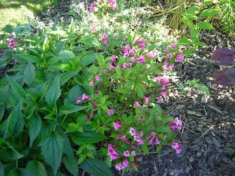 3_blommandebuske.jpg