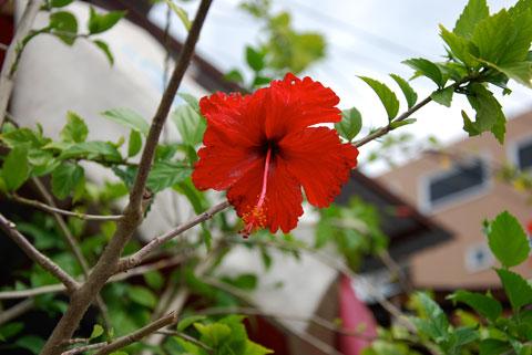3_hibiscus.jpg