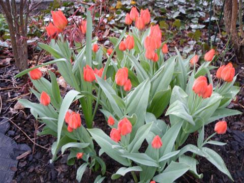3_tulipaner2.jpg