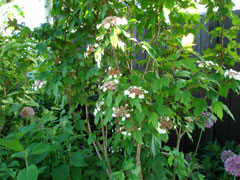 4_blommandebuske-07.jpg
