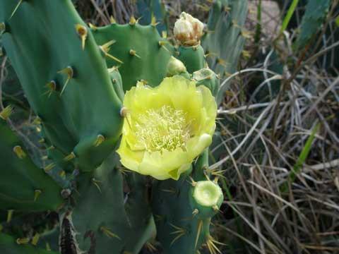 5_kaktusblomma.jpg