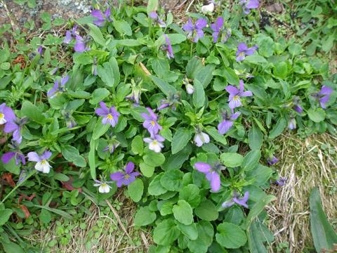 5_violernablommarigen.jpg