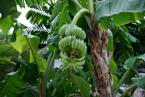 6_bananer.jpg
