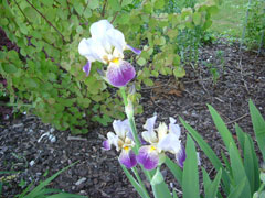 6_iris.jpg