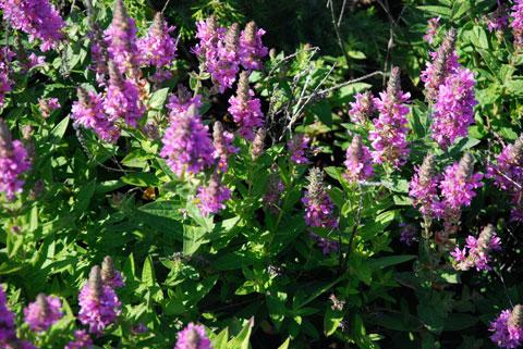 6_violettingar.jpg