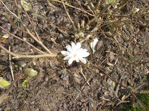 magnoliautslagen.jpg